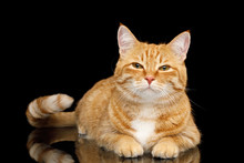 Lying Ginger Cat With Squintin...