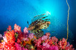 canvas print picture - A predatory Lionfish swimming over a beautiful, colorful tropical coral reef in Myanmar