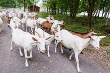 Troupeau De Chèvre Dans Bois