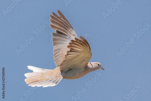 Carta da parati Mourning dove in flight.