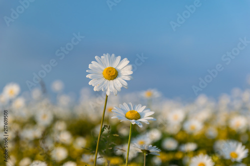 Foto op Canvas Madeliefjes Field of Wild Dasies Compalation