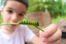 Young Child Studying A Caterpillar