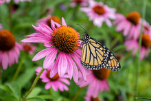 Monarch Butterfly On Purple Co...