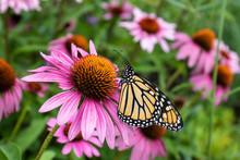 Monarch Butterfly On Purple Co...