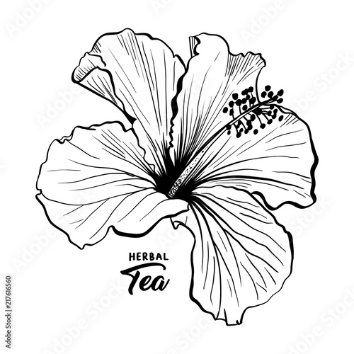 Hawaiian Hibiscus Fragrance Flower Or Mallow Chenese Rose Black And