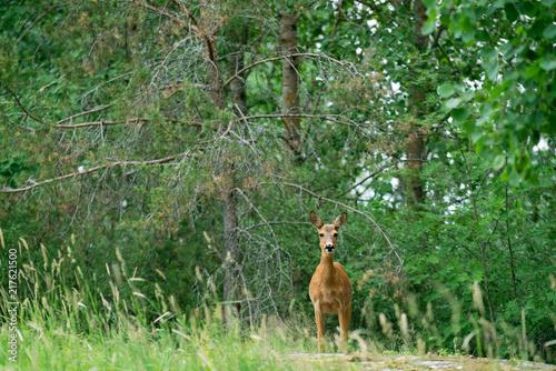Foto op Canvas Ree Deer