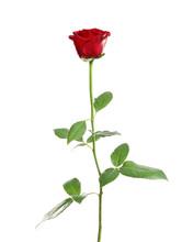 Red Long Stem Rose On White Ba...