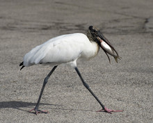 Black And White Wood Stork Wit...