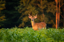 Whitetail Buck Feeding On Green Grass. Male Deer Outstanding In A Field.