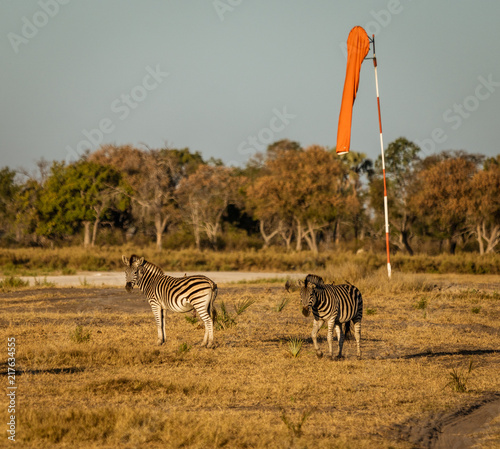 In de dag Zebra Two zebra walk along the airstrip, causing danger to landing planes