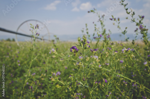 The small alfalfa flower on the green field under the smoky sky. Canvas Print