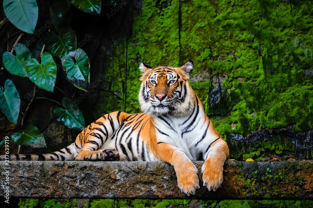 Fototapeta beautiful bengal tiger with lush green habitat background