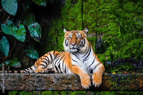 Tableau sur Toile beautiful bengal tiger with lush green habitat background