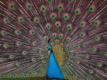 The Peacock Spread Its Tail