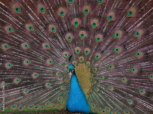Fotobehang Pauw The peacock spread its tail