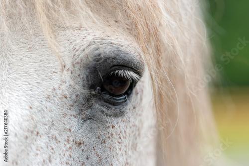 White horse eye Tablou Canvas