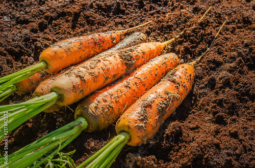 Fresh carrot in the garden. Juicy unwashed carrots lying on the ground in the field.