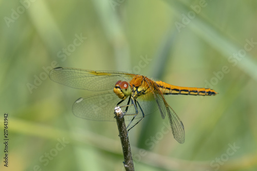 Fotografie, Obraz  Yellow-winged darter (Sympetrum flaveolum)  sitting on a stick