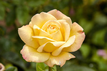 Beautiful Yellow Rose Bloomin...