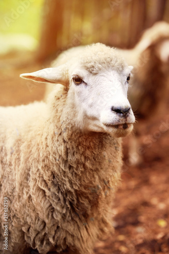 Fotobehang Schapen Sheep muzzle outdoors. Standing and staring breeding agriculture animal