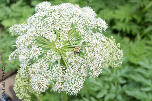Canvastavla Garden Angelica blossom with a bumble  bee on it
