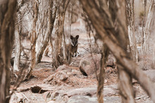 Wallaby In Trees