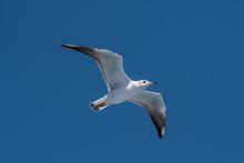 Audouin's Gull - Ichthyaetus A...