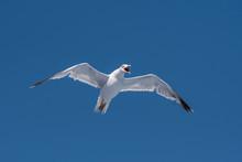 Yellow-legged Gull (larus Mich...