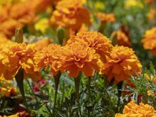 Tagetes Erecta. Roses D'Inde Parente De L'oeillet D'Inde