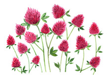Red Clover. Watercolor Illustr...