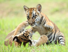 The Baby Tiger Playing With Ot...