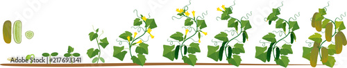 Fototapeta Life cycle of cucumber plant. Stages of growth from seed and sprout to adult plant with fruits obraz