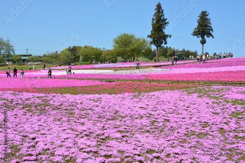 Fotobehang Purper 埼玉県の羊山公園の芝桜
