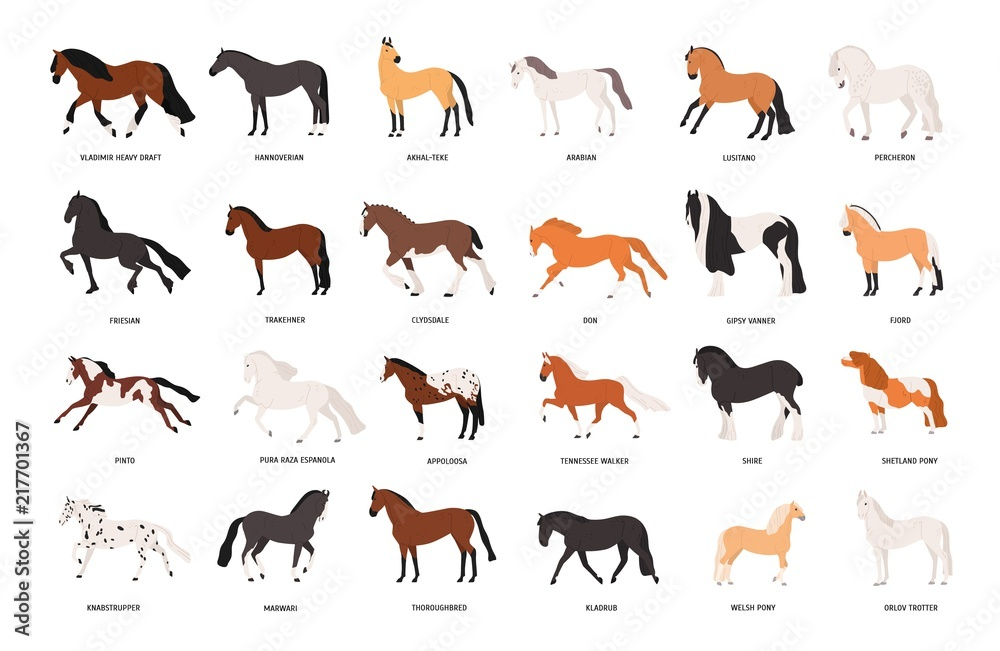 Fototapety, obrazy: Collection of horses of various breeds isolated on white background. Bundle of gorgeous domestic equine animals of different types and colors. Colorful vector illustration in flat cartoon style.