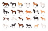 Fototapeta Konie - Collection of horses of various breeds isolated on white background. Bundle of gorgeous domestic equine animals of different types and colors. Colorful vector illustration in flat cartoon style.