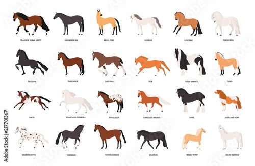 Fototapeta Collection of horses of various breeds isolated on white background. Bundle of gorgeous domestic equine animals of different types and colors. Colorful vector illustration in flat cartoon style. obraz