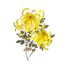 Chrysanthemum Flowers. Floral Bouquet Design. Yellow Chrysanthemum Illustration