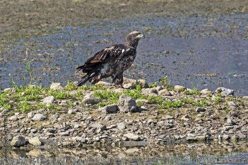 Fotografie, Obraz  Bird juvenile bald eagle on lake shore