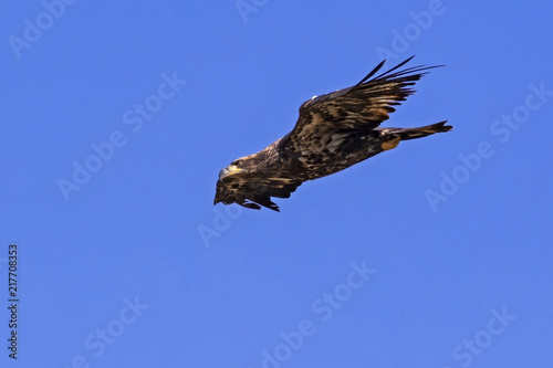 Fotografie, Obraz  Bird juvenile bald eagle fast fly-by