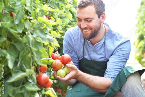 Fotomural glücklicher Gärtner kontrolliert reife Tomaten vor der Ernte im Gewächshaus - An