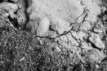Black And White Photo Of Dry Root In The Ground