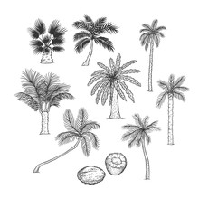 Vector Sketch Set Of Palm. Dif...