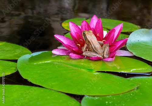Valokuva Pacific Tree Frog on Water Lily Flower in garden pond