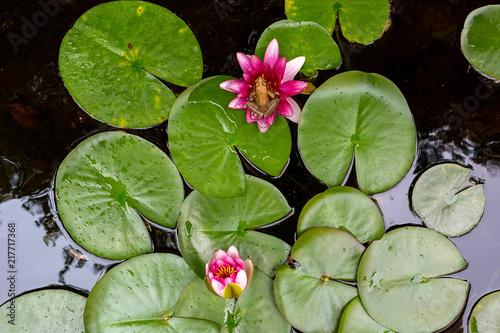 Valokuvatapetti Pacific Tree Frog on Water Lily Flower in backyard garden pond Aerial View