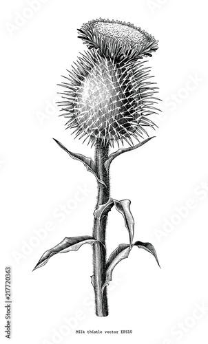 Fotografie, Obraz Milk thistle plant botanical hand draw vintage clip art isolated on white backgr