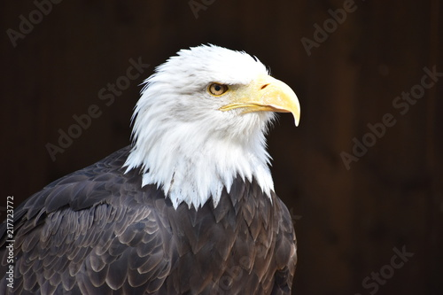 In de dag Eagle Wonderful majestic portrait of an american bald eagle with a black background