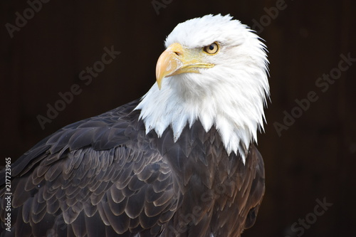 Deurstickers Eagle Wonderful majestic portrait of an american bald eagle with a black background