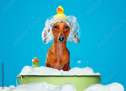 Foto Dachshund dog having bath in a basin