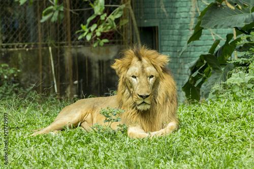 Foto op Plexiglas Leeuw Regal-looking lion standing on the grass