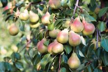 Harvest Of Ripe Pears On Branc...